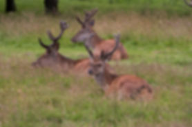 three red deer stags sitting in the grass