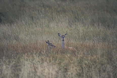 doe with fawn in long grass