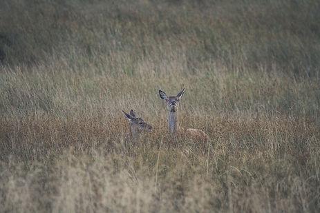 Red Deer in field