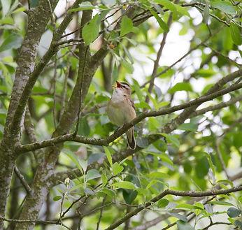 Sedge Warbler singing in the trees