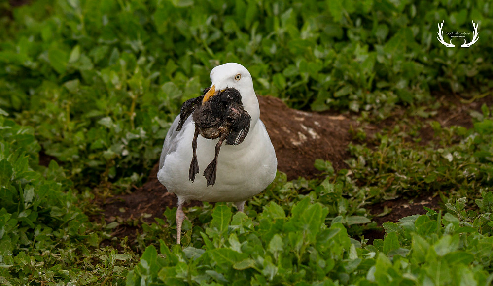 Seagull with dead puffling