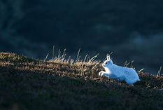 Mountain Hare running up hill