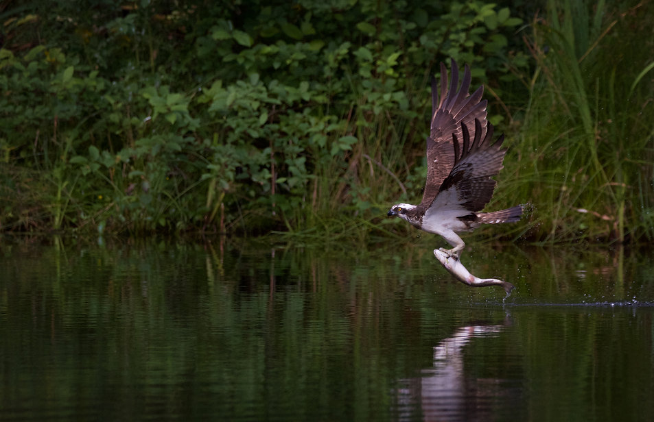 Osprey flying away from the water with a fish