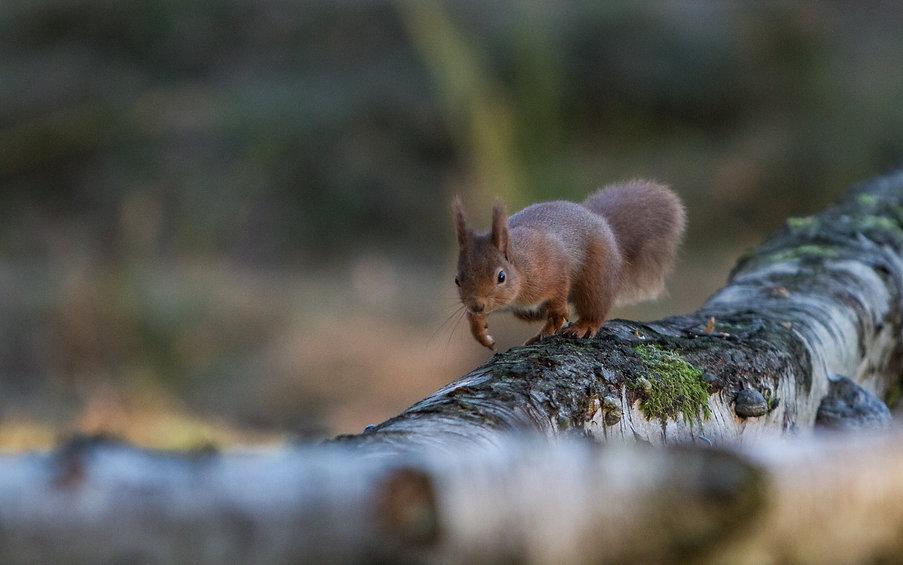 scottish red squirrel running along tree