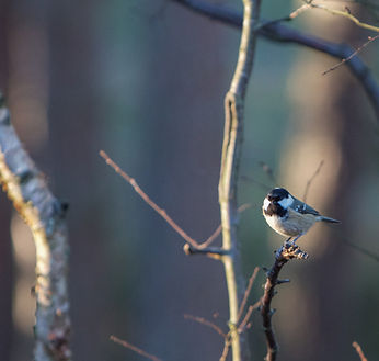 Coal tit sitting on a branch