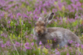brown mountain hare sitting in the pink heather