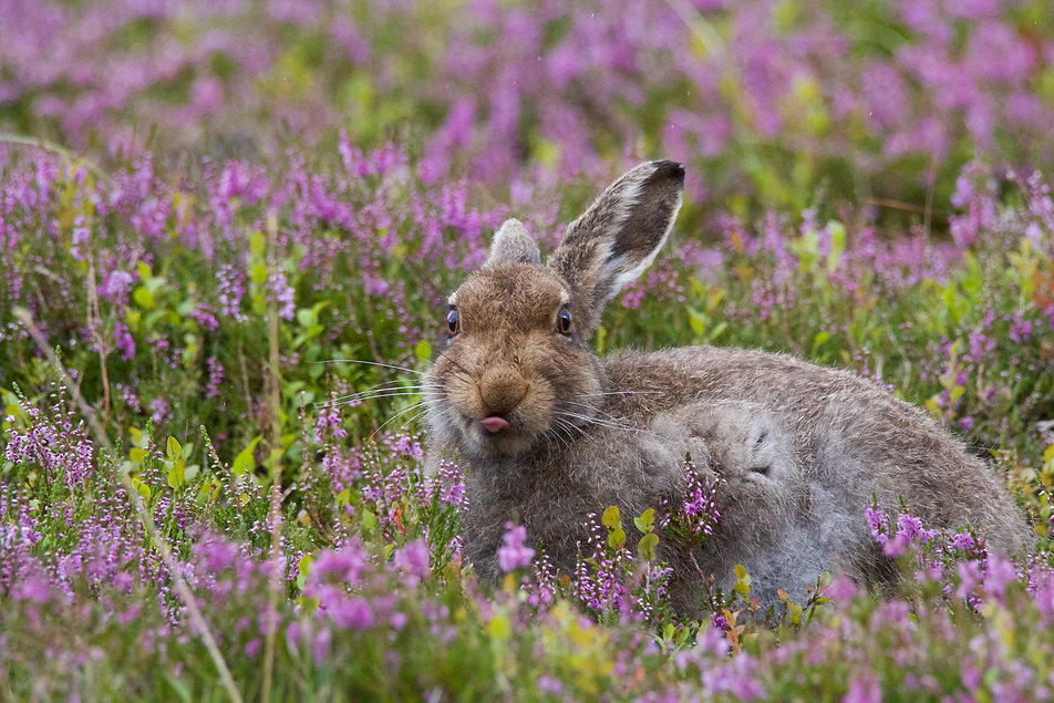 Mountain Hare sticking tounge out