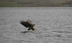 Sea Eagle swopping to catch fish