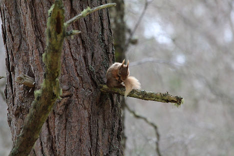 scottish red squirrel cleaning itself