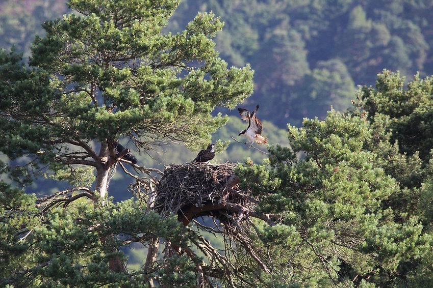 Osprey flying onto nest with branch