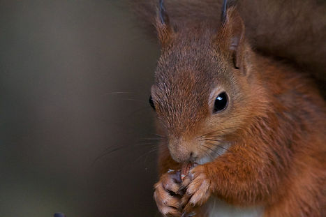 scottish red squirrel eating nuts