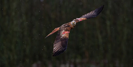 Red Kite flying in snow