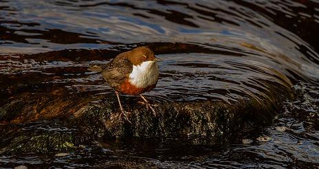 Dipper in water