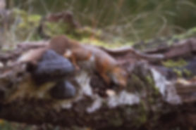 scottish red squirrel rubbing on a tree