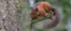 scottish red squirrel on tree