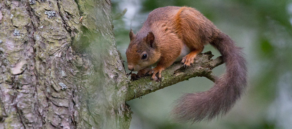 scottish red squirrel on tree