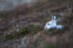 white mountain hare sitting in the heather