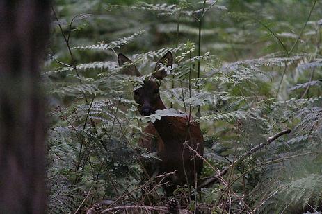 Red Deer in ferns