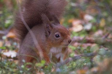 scottis red squirrel