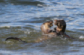 Otters playing in the water