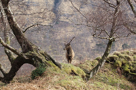 red deer stag in between trees