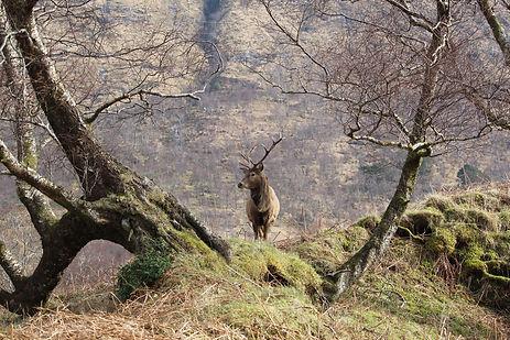 Red Deer in trees