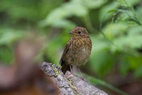 Baby robin on tree stump