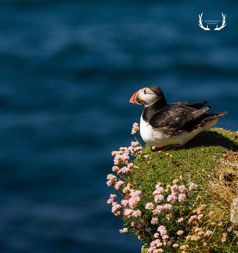 Puffin looking out from cliff