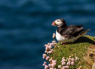 Puffins with a view