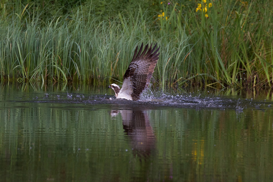 Osprey landing in the water