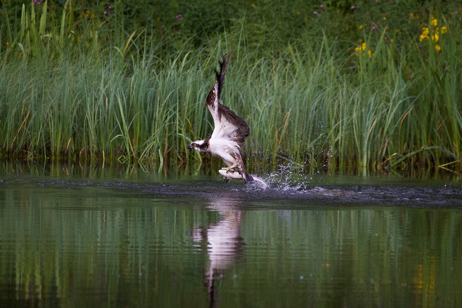 Osprey lifting off the water with a fish