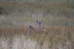 Doe-deer-with-fawn-in-long-grass