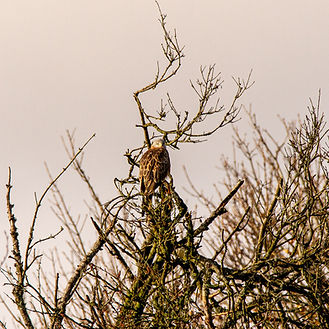 Red Kite sitting in tree