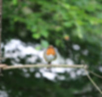 Robin sitting on a branch
