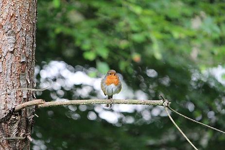 Robin on branch of tree