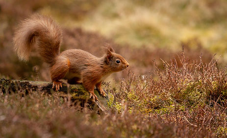 Red Squirrel in heather