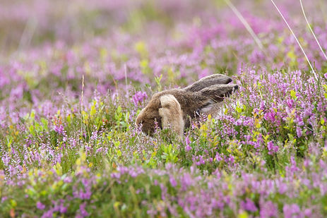 brown mountain hare rubbing its eyes