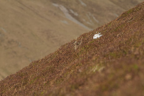 white mountain hare sitting in the burnt heather
