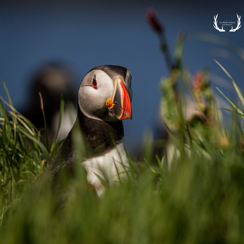 Puffin in grass