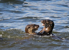 Otters playing in the sea