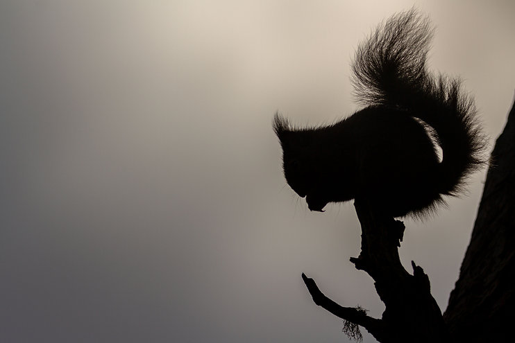 Red Squirrel silhouette