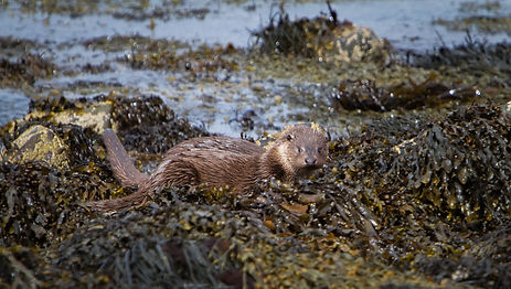 Otter on the beach