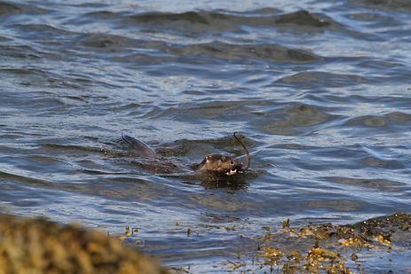 Otter swimming with crab in its mouth