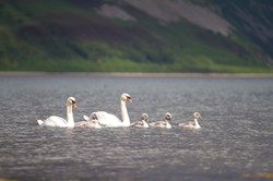 family-of-swans-in-the-sea