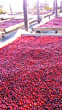 dryingcherries_edited_edited_edited.png