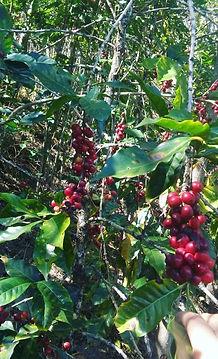 CoffeeTreesside_edited.jpg