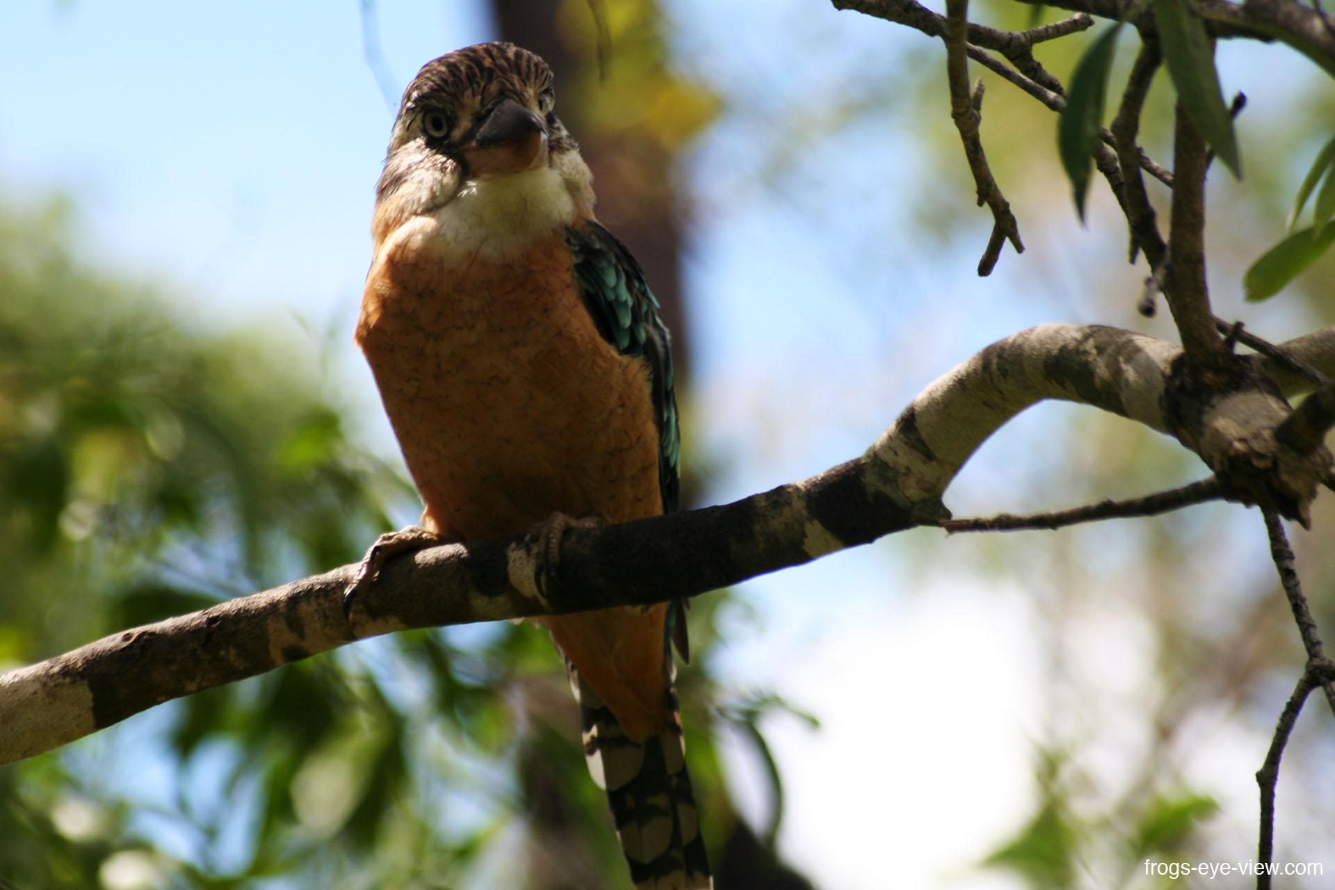 39_blue tailed Kookaburra Kopie