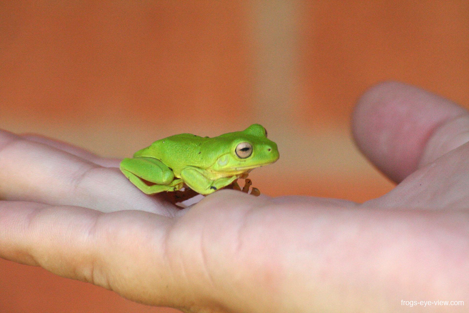 42_Green Tree Frog Kopie
