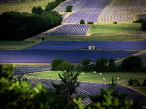 Lavendel Sault & Mont Ventoux, Abbaye Notre-Dame de Sénanque