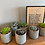 Thumbnail: Potted trio of mixed succulents